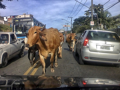 Boi no trânsito