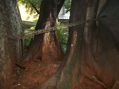Árvore na Ladeira da Memória