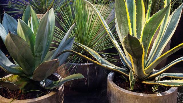 home-nova-plantas-que-pedem-pouca-agua-agaves-e-suculentas
